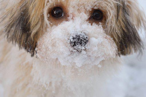 Dog, Pet, Snow, Snout, Face, Head, Fur, Animal