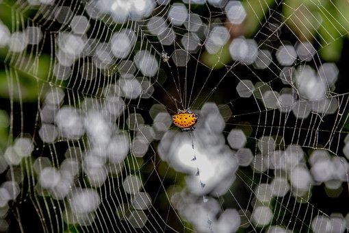 Spider, Cobweb, Spinybacked Orbweaver, Arachnid