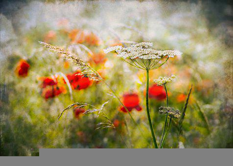 Summer, Meadow, Flowers, Nature, Flora, Poppy