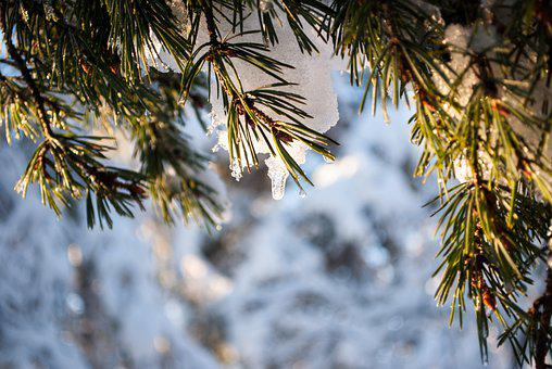Pine, Branches, Snow, Dew, Dewdrops, Droplets, Sunlight