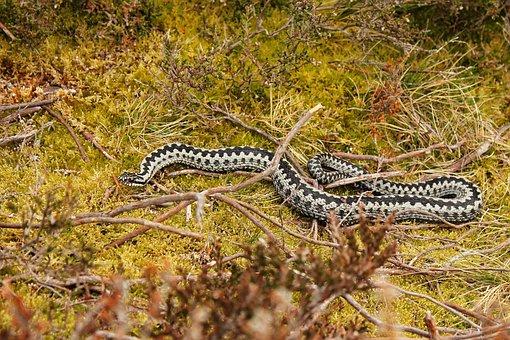 Viper, Swedish, Nature, Snake, Sweden, Outdoor, Plants
