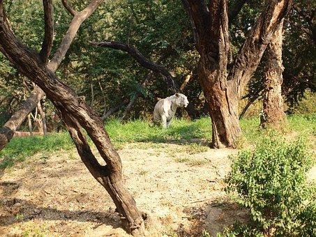 Tiger, Feline, Bengal, Mammal, Trees, India, Zoo