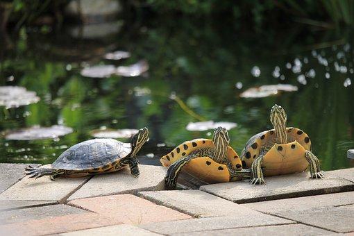 Turtles, Pond, Sunbathing, Reptile, Animal, Water