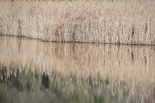 Lake, Reeds, Nature, Water, Plants, Marsh, Plant