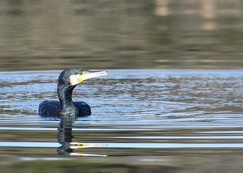 Cormorant, Bird, Lake, Water Bird, Animal, Wildlife