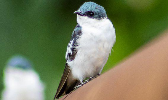 Swallow, Bird, Perched, Animal, Wildlife, Feathers