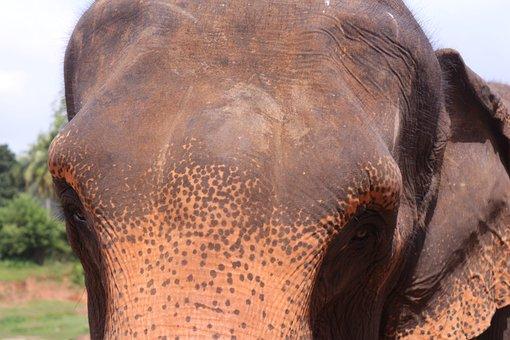Elephant, Sri Lanka, Wise Man, Animal World, Animal