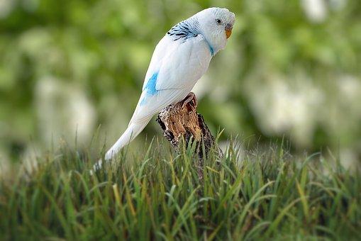 Bird, Parakeet, Budgie, Plumage, Animal, Feather