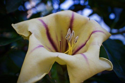 Flower, Bell Flower, Trumpet Flower, Pistilli, Nature