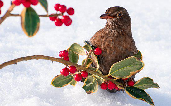 Blackbird, Branch, Snow, Rowan Berries, Berries, Bird