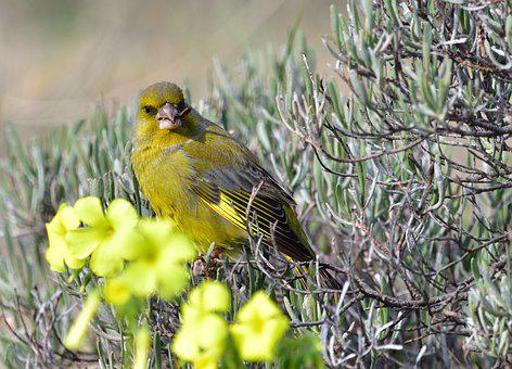 Greenfinch, Bird, Branches, Perched, Finch, Animal