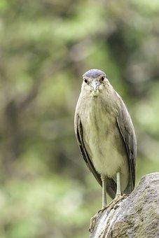 Night-heron, Bird, Heron, Nature, Wildlife, Animal