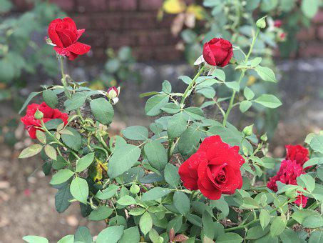Rose, Flowers, Bloom, Blossom, Plant, Love, Flora