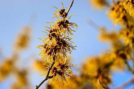 Witch Hazel, Flowers, Branch, Twig, Hamamelidaceae