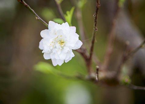 Apricot Flower, Flower, Branch, White Flower