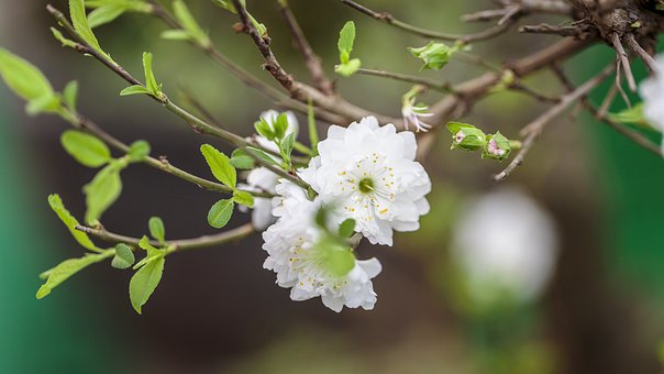 Apricot Flowers, Flowers, Branch, White Flowers