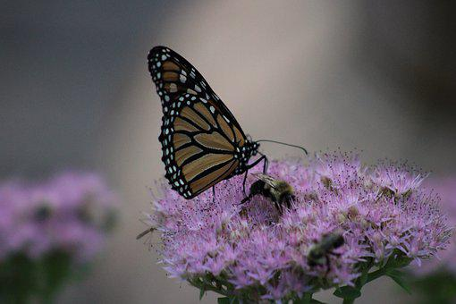 Butterfly, Insect, Flower, Monarch Butterfly, Animal