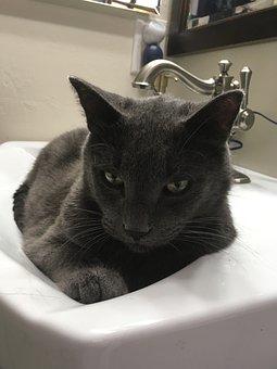 Cat, Russian Blue, Cat Glare