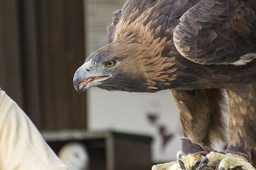 Eagle, Royal, Peak, Bird, Eye, Yellow, Ave, Feathers