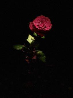 Rose, Flower, Blossom, Bloom, Plant, Love, Flora