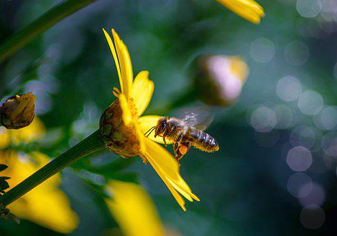 Bee, Insect, Flower, Honey Bee, Animal, Nectar