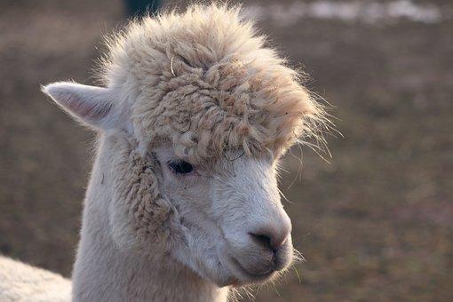 Alpaca, Lama, Camel, Paarhufer, Animal, Peru, Furry