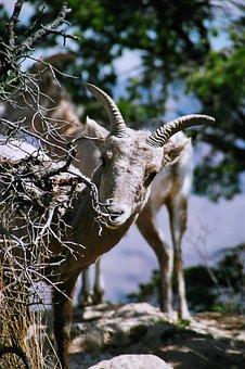 Sheep, Bighorn, Bighorn Sheep, Ram, Wildlife, Horns