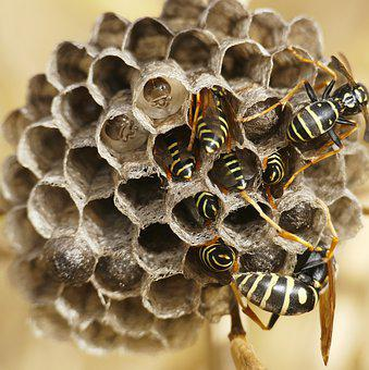 Field Wasps, The Hive, Insect, Close Up, Nature, Summer