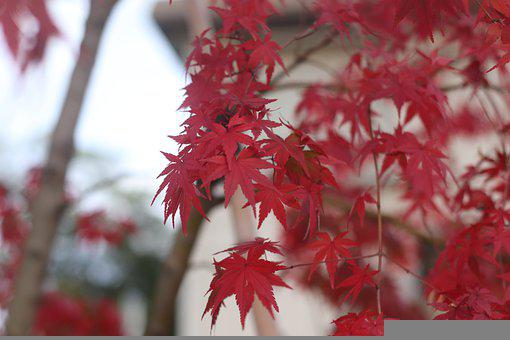 Maple, Leaves, Fall, Branches, Foliage, Red Leaves