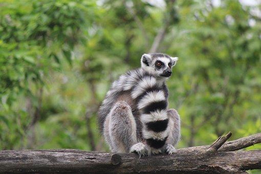 Lemur, Animal, Branch, Ring-tailed Lemur, Mammal