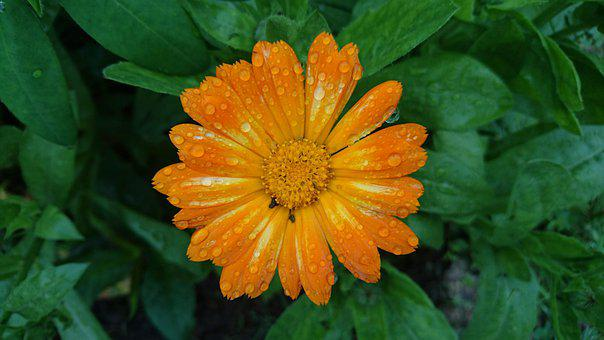 Calendula, Marigold, Flowers, Bloom, Orange, Drops
