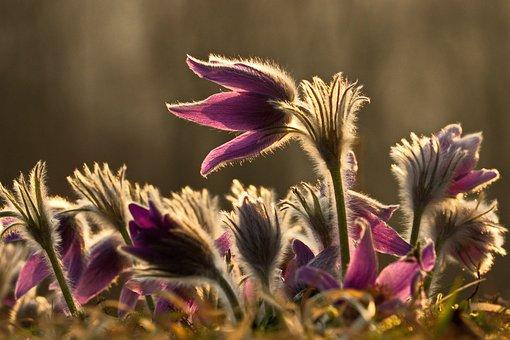 Pasqueflower, Flowers, Sunset, Sunlight, Plants