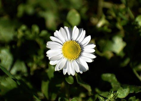 Chamomile, Flower, Plant, Daisy, Marguerite, Petals
