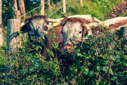 Cows, Fence, Plants, Longhorn, Cattle