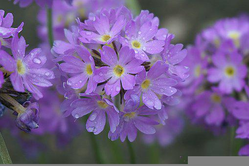 Primula, Pink-purple, Prymulki, Violet, Purple Flowers