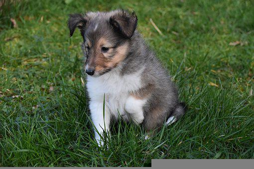 Puppy Shetland Sheepdog, Pup, Animal, Adorable