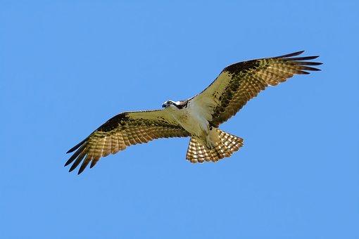 Osprey, Bird, Flight, Sky, Raptor, Sea Hawk