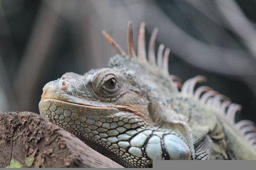 Iguana, Animal, Reptile, Green Iguana, Wildlife, Fauna