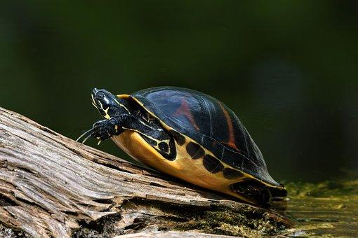 Florida Redbelly, Turtle, Animal, Reptile