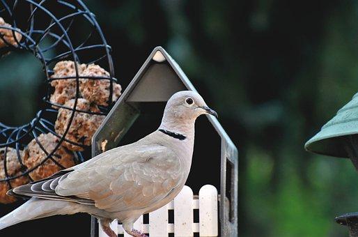 Ring Dove, Dove, Bird, Ringed Turtle Dove, Animal
