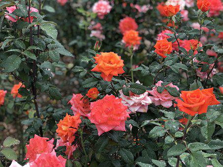 Roses, Green, Flowers, Nature, Floral, Vintage, Bloom