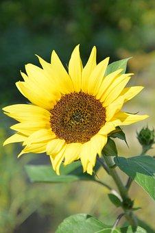 Sunflower, Flower, Plant, Petals, Yellow Flower, Bloom