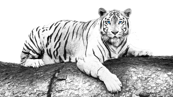 Tiger, Animal, Wood, Mammal, Big Cat