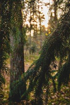 Trees, Forest, Spruce, Sunset, Wood, Conifer, Fir