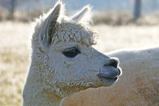 Alpaca, Peru, Wool, Head, Fur, Livestock, Fluffy