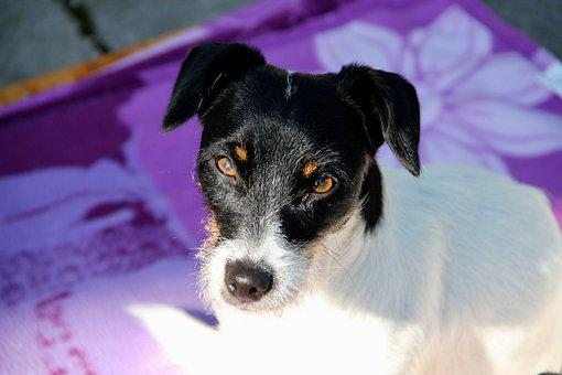 Jack Russell, Terrier, Dog, Pet, Adorable