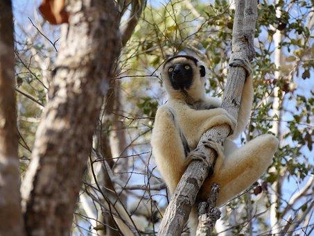 Madagascar, Lemur, Monkey, Animal, Primates, Mammal