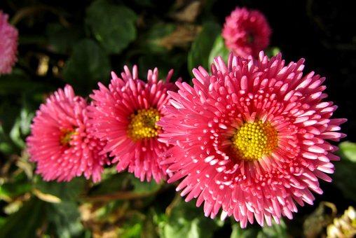 Bellis, Daisies, Pink, Flowers, Petals, Pink Flowers