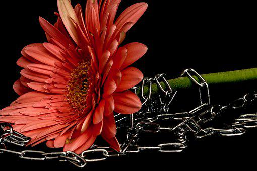 Flower, Gerbera, Chains, Pollen, Petals, Waist, Bind