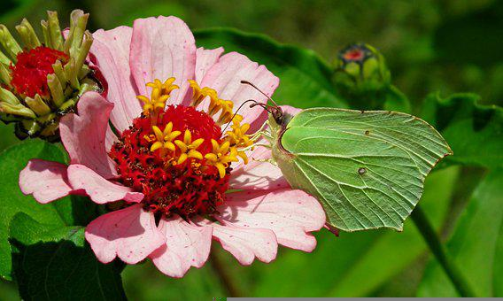 Butterfly, Insect, Flower, Zinnia, Color, Nature